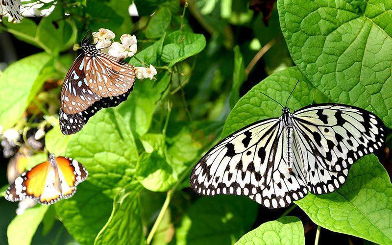 در این باغ پنانگ پروانه های رنگارنگ ببینید!