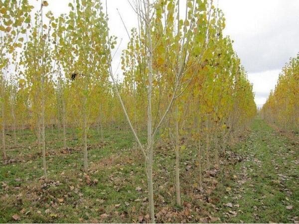 زراعت چوب در 310 هکتار اراضی ساری