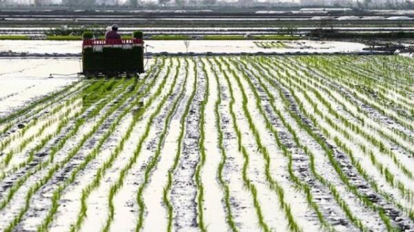 افزایش فراوری بذر پیش پایه الیت به 25 تن در کشور